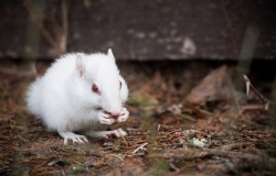 Albino Chipmunk at CWC- summer of 2015