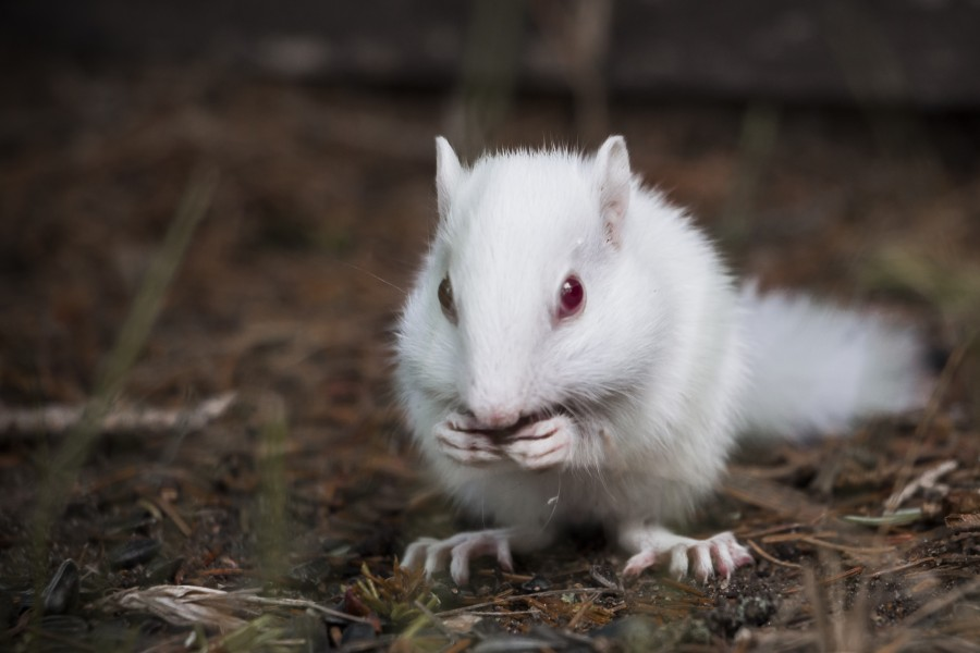 Albino Chipmunk At Cwc Summer Of 2015 Crow Wing Crest Lodge