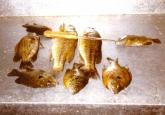 panfish02