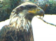 young bald eagle at crow wing crest lodge