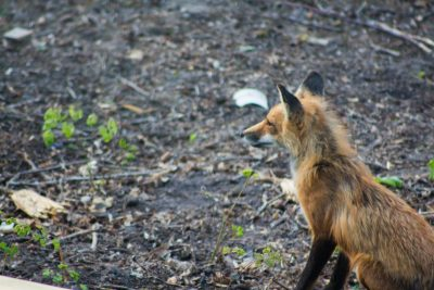 red fox at crow wing crest lodge